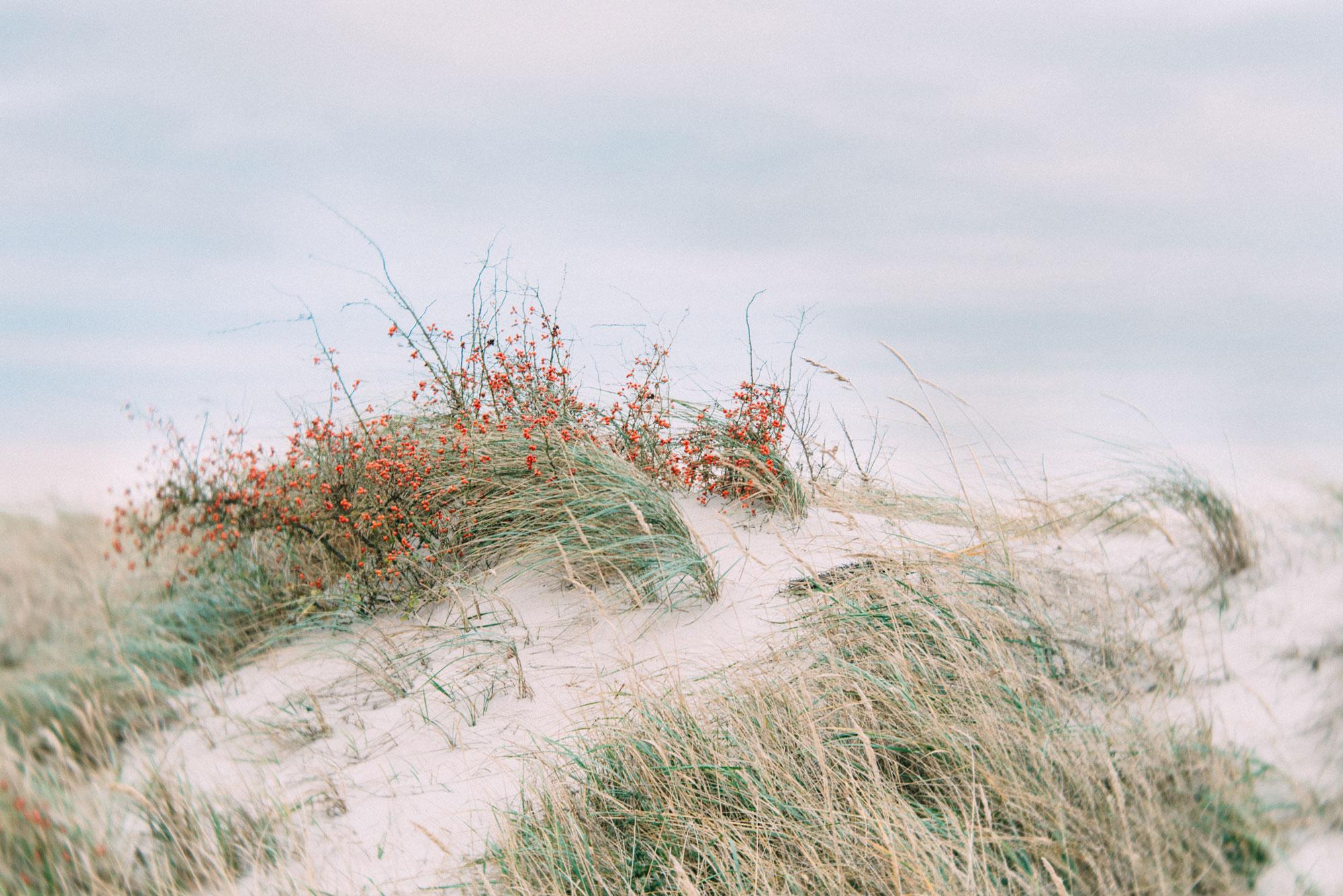 Hagebutten-und-Duene-am-Strand