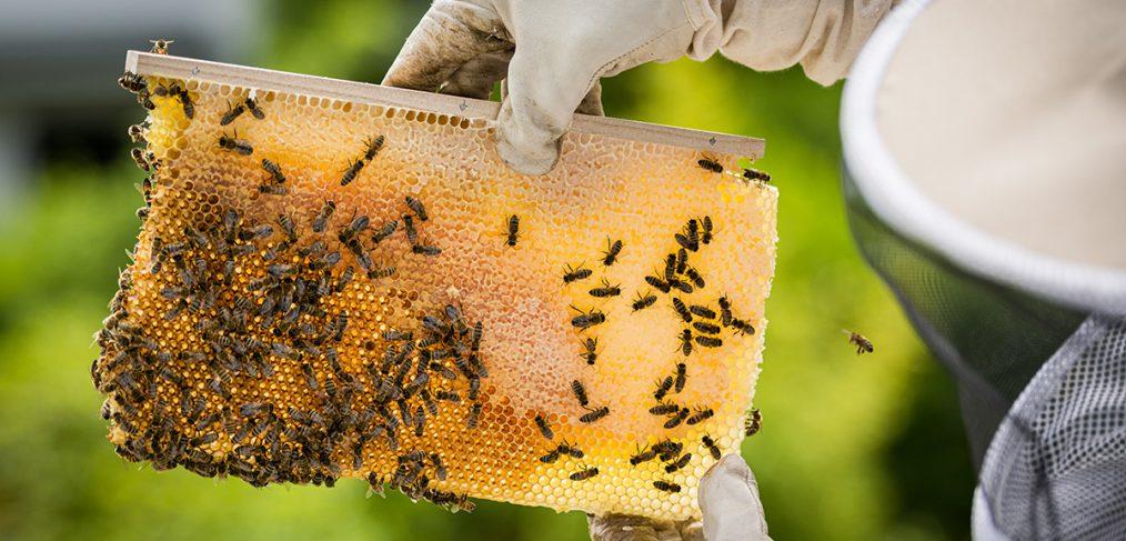 Honigbienen, Bienen und Imker Filitz Fotografie